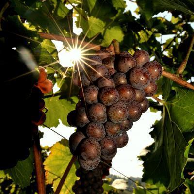 S soncem obsijano grozdje